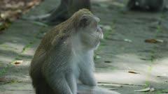Macaque Monkey Yawning Showing Teeth 5K