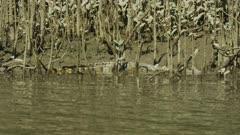 Salt Water Crocodile Laying In Mangroves 4K
