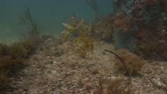 Leafy SeaDragon Moving In Surge 5K