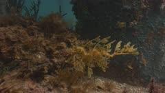 Leafy SeaDragon Wide Shot  Moving In Surge 5K