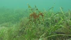Leafy SeaDragon Amongst Seagrass, Wide Shot 5K