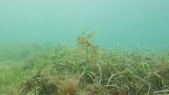 Leafy seaDragon Swimming Above Seagrass, Wide Shot, Reveal 5K
