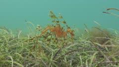 Leafy SeaDragon Swimming Through Seagrass, Close Up, 5K