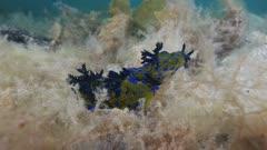 Three Nudibranch, Tambja Verconis Courting Behaviour, Wide Shot 5K
