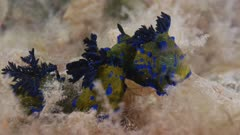 Three Nudibranch, Tambja Verconis Courting Behaviour, Close Up 5K