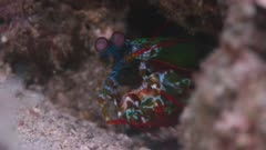 Mantis Shrimp Peering Out Of Crevice, 5K