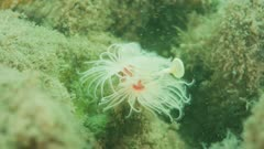 Feather duster Worm In Strong Current 5K