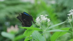 Ulysses Butterfly Feeding On Small Flower 5k