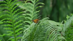 Monarch Butterfly Sitting On A Leaf, fly's off. 5k