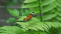Orange Lacewing Butterfly Sitting On a Leaf, Flies Off 5k