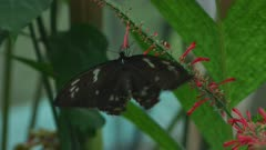 Birdwing Butterfly Eating Nectar and Flapping Wings 5k