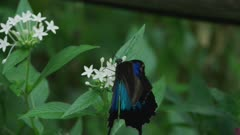 Ulysses Butterfly Flapping Its Wings While Feeding 5k