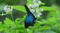 Ulysses Butterfly Feeding and Flapping Wings 5k