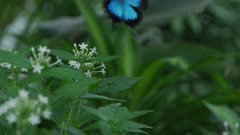 Ulysses Butterfly Flying Away 5k