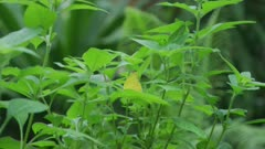 Common Grass Yellow Butterfly Sitting Among Tall Green Leaves 5k