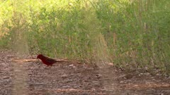 Northern cardinal jumps along the path, looking for food