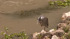 Yellow-crowned night-heron scratching itself near the water