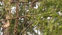 A small blue bird, possibly and Indigo Bunting, sitting on the branch and then flies away