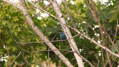 A small blue bird, possibly an Indigo Bunting, sitting on the branch and then flies away