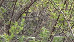 A gray bird, possibly a Song sparrow, sitting on a bush