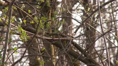 A Myrtle Warbler hopping on a branch