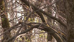 Myrtle warbler perched in a tree, hopping on a branch