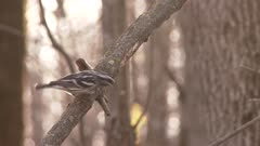 Black-and-white warbler hopping on a branch