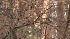 A small bird, possibly Magnolia Warblers, perched in a tree, hopping from branch to branch and then flies away