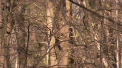 A small bird hopping from branch to branch in a deciduous forest