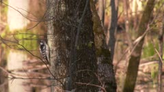 A small woodpecker, possibly a Downy woodpecker, pecks a tree