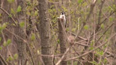 A small woodpecker, possibly a Downy woodpecker, pecks a tree and then flies away