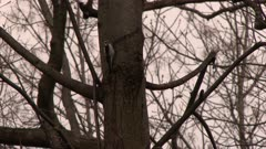 A small woodpecker, possibly a Downy woodpecker, climbs a tree, pecking it