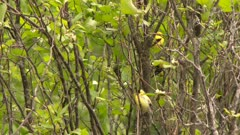 Small yellow birds perched in the branches of a tree, possibly an American Goldfinch