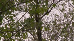 Bird, possibly a Hairy Woodpecker, climbs up a tree trunk
