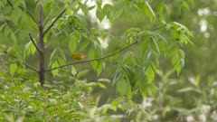 Small yellow bird flying from tree to tree in a forest, possibly a Yellow Warbler