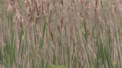 Close up on cattails and reeds growing near a river