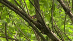 Small  black and red bird in a tree captures prey and takes it back to nest, possibly an American Redstart