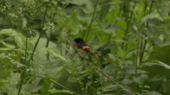 Small black and red bird flying from bush to bush in a forest, possibly an American Redstart