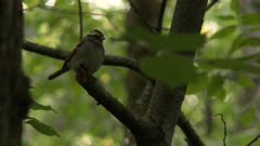 Small bird perched on a broken tree branch, possibly a White-throated Sparrow