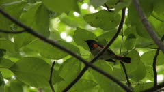 Small bird perched in a tree with an insect in its beak, possibly an American Redstart