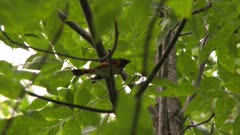 Small black and red bird flying from branch to branch in a tree