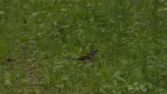 Small bird foraging on the forest floor, possibly a White-throated Sparrow