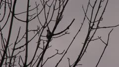 Small bird perched on a bare tree branch, preening, possibly a Downy Woodpecker