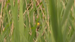 Small bird perched in thick tall grass in a deciduous forest, possibly a Common Yellowthroat