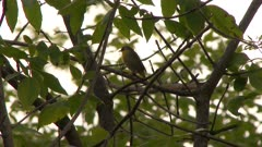Small bird perched on a tree branch, possibly a Common Yellowthroat