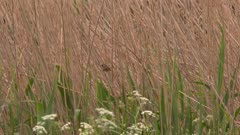 Small bird perched in tall reeds near a field of flowers, possibly a Common Yellowthroat