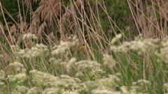 Small bird perched in tall reeds near a field of flowers, chirping, possibly a Common Yellowthroat