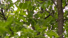 Close up on a small bird, partially obscured by the branches and leaves of a deciduous forest
