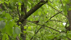 Small bird perched on a tree branch takes flight, possibly an American Redstart