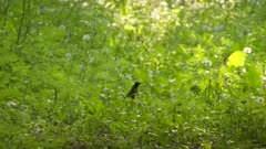 Small bird hopping through the grass and small plants growing on the forest floor takes flight